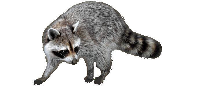 Nassau County Animal Removal Raccoon Rodent Bird